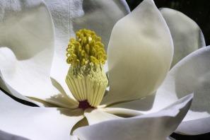 magnolia-1077384_1920